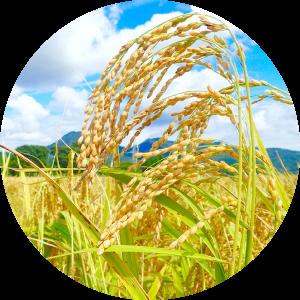 米づくり(田植え・稲刈り)